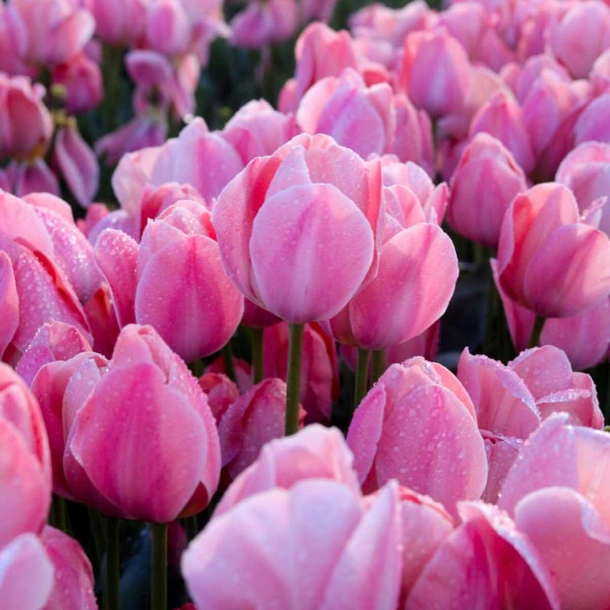 tulpenfeld pink